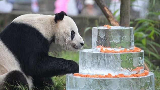 Panda Jantan Tertua Di Dunia Bernama Pan Pan Mati Akibat Kanser