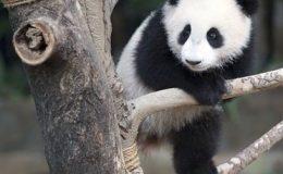 Anak Panda Nuan Nuan Akan Pulang ke China 14 November 2017